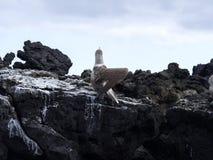 De blauw-betaalde domoor, Sula-nebouxiiexcisa, reinigt de veren op de klip van Isabela ` s, de Galapagos, Ecuador Royalty-vrije Stock Foto's