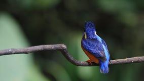 De blauw-eared Ijsvogel (mannetje) strijkt veren glad stock footage