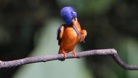 De blauw-eared Ijsvogel (mannetje) strijkt veren glad stock videobeelden