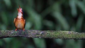 De blauw-eared Ijsvogel (wijfje) eet vissen stock footage