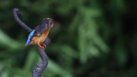 De blauw-eared Ijsvogel (wijfje) strijkt veren glad stock videobeelden