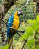 De blauw-en-Gele Ara, Aronskelkenararauna is een grote Zuidamerikaanse papegaai royalty-vrije stock afbeeldingen