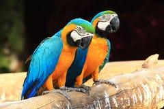 De blauw-en-gele ara's van het paar (ararauna van Aronskelken) Royalty-vrije Stock Afbeeldingen
