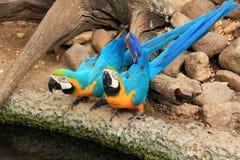 De blauw-en-gele ara's van het paar (ararauna van Aronskelken) Stock Foto's