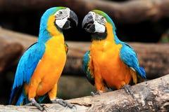 De blauw-en-gele ara's van het paar (ararauna van Aronskelken) Royalty-vrije Stock Afbeelding