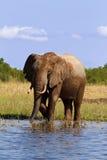 De blauw van de olifant Stock Afbeeldingen