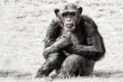 De blauwe aap van de ogenchimpansee in b&w Stock Foto