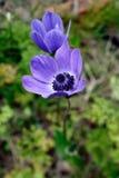 De blauwe Anemonen van de Papaver (anemooncoronaria) Stock Afbeelding