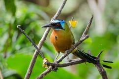 De blauwe Bekroonde vogel van Mot Mot, Tobago Stock Foto