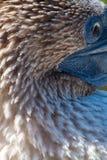 De Blauwe betaalde domoor van het close-upportret in Stock Afbeelding
