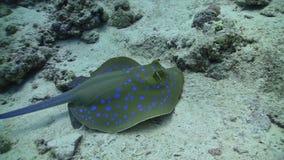 De blauwe Bevlekte pijlstaartrog zwemt op het koraalrif stock footage