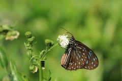 De blauwe Bevlekte vlinder en de bloem van Milkweed Royalty-vrije Stock Foto's