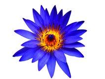 De blauwe bloei van de lotusbloembloem op geïsoleerd stock foto