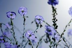 De blauwe bloei van de vlasbloem in de zomer stock foto