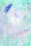 De blauwe bloeiende dromerige achtergrond van de Hyacint van de Druif Royalty-vrije Stock Afbeelding