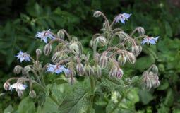 De blauwe bloem van borageofficinalis in een tuin Boragoofficinalis, ook als een starflower wordt bekend, is een jaarlijks kruid  stock foto
