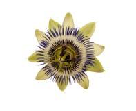 De blauwe Bloem van de Hartstocht Passiebloem Caerulea Royalty-vrije Stock Fotografie