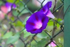 De blauwe bloem van de ochtendglorie Stock Afbeeldingen