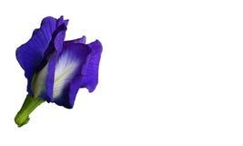 De blauwe bloem van de Vlindererwt op de witte achtergrond Royalty-vrije Stock Afbeelding