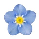 De Blauwe Bloem van het vergeet-mij-nietje die op Wit wordt geïsoleerdd Royalty-vrije Stock Afbeeldingen