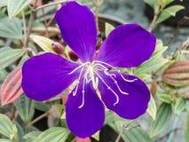 De Blauwe Bloem van Malabarmelastome in India Stock Afbeelding