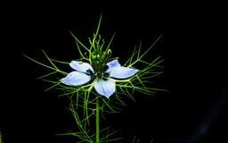 De blauwe bloem van Nigella Damascena Royalty-vrije Stock Afbeeldingen
