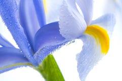 De blauwe bloemblaadjes van de Iris Royalty-vrije Stock Foto's