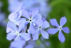 De blauwe bloemen van de Flox Stock Afbeeldingen