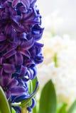 De blauwe bloemen van de Hyacint stock foto