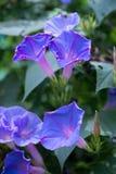 De blauwe bloemen van de Ochtendglorie Royalty-vrije Stock Afbeeldingen