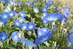 De blauwe bloemen van de ochtendglorie Stock Fotografie