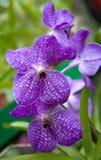 De blauwe Bloemen van de Orchidee Royalty-vrije Stock Afbeelding