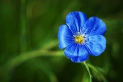 De blauwe bloemen van het Vlas Stock Fotografie