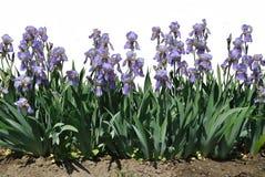 De blauwe bloemen van iris Stock Afbeeldingen