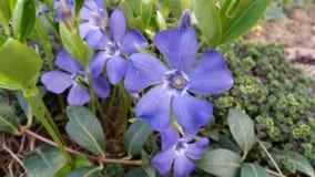 De blauwe bloemmaagdenpalm kwam in de lenterockeries tot bloei stock afbeeldingen