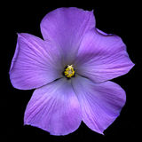 De blauwe Bloesem van de Hibiscus Stock Foto
