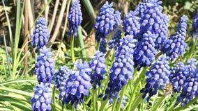 De blauwe bloesem van de druivenhyacint in de lente het wilde solitaire bicornis van bijenosmia voeden stock footage