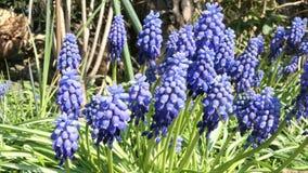 De blauwe bloesem van de druivenhyacint in de lente het wilde solitaire bicornis van bijenosmia voeden stock videobeelden