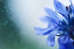 De blauwe close-up van de Bloem cornflower royalty-vrije stock afbeeldingen