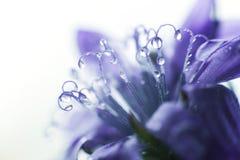 De blauwe close-up van de Bloem cornflower een daling van water op een bloembloemblaadje royalty-vrije stock foto's
