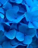 De blauwe close-up van Hydrangea hortensiahortensia Stock Afbeelding