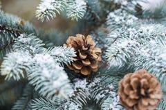 De blauwe die Kerstboomtak met kegels met sneeuw worden behandeld royalty-vrije stock foto's