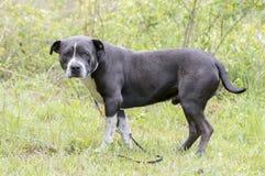 De blauwe en witte buldog die van bull terrier van de bluenosekuil buiten bepalen stock foto
