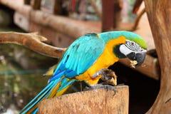 De blauwe Gouden Ara eet de banaan Royalty-vrije Stock Fotografie