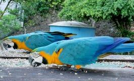 De blauwe, groene en gele veren grote papegaaien eten Stock Foto
