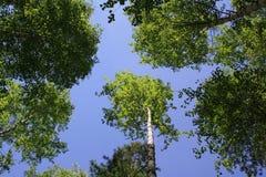 De blauwe hemel door gebladerte van bomen stock foto's