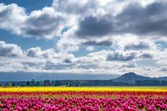 De blauwe hemel en de prominente wolken hangen over kleurrijke tulpengebieden royalty-vrije stock fotografie
