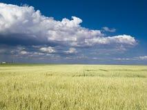 De blauwe hemel van het tarwegebied Royalty-vrije Stock Afbeeldingen