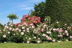De Blauwe Hemel van Rose Garden With Sunny And stock fotografie