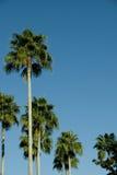 De blauwe hemelen van palmen Stock Afbeelding